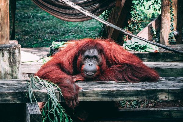 Orangután Tanjung Puting